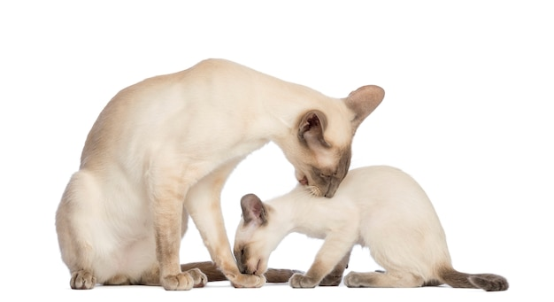 Oriental shorthair father sitting with its kitten, 9 weeks old, and cleaning each other