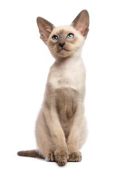 Ориентальный короткошерстный котенок, 9 недель, смотрит вверх