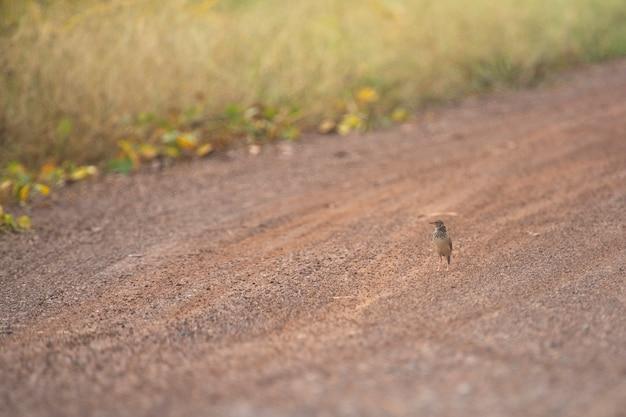 オリエンタルスカイラークの鳥