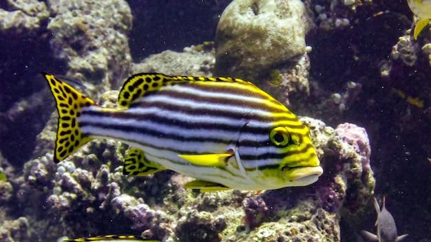 몰디브 인도양의 열대 바다에 있는 오리엔탈 스윗립.