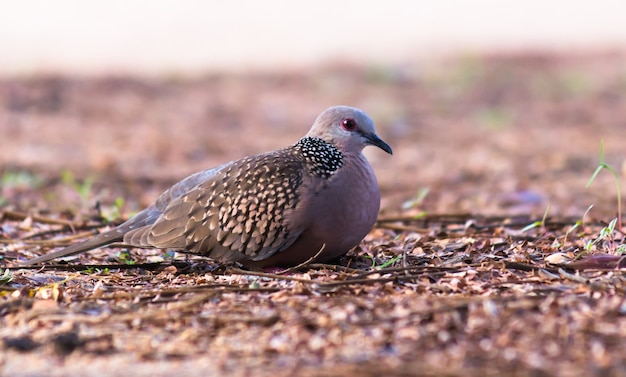 The oriental turtle dove or rufous turtle dove is a member of the bird family columbidae