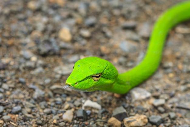 Oriental whipsnake or asian vine snake