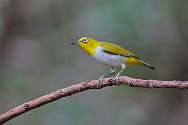동양의 흰 눈 zosterops palpebrosus 태국의 아름다운 새들