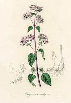 Орегано (origanum vulgare) иллюстрация из медицинской ботаники (1836)
