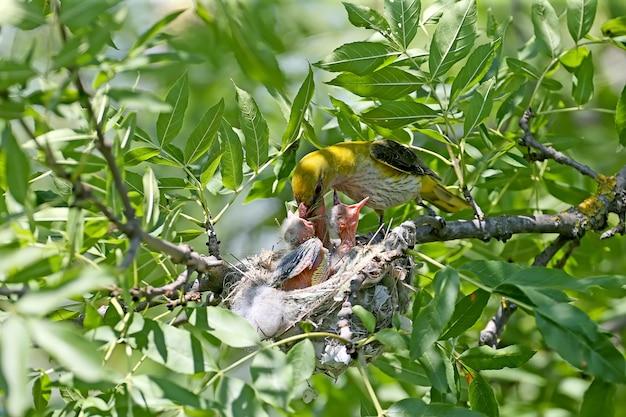 둥지에 꾀꼬리 병아리. 근거리 근접 촬영. 시원하고 귀여운 미래의 황금 오리올스