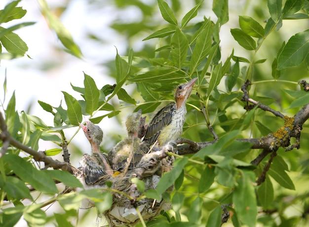 巣の中のオリオールのひよこ。近距離のクローズアップで撮影。クールでキュートな未来のゴールデンオリオールズ
