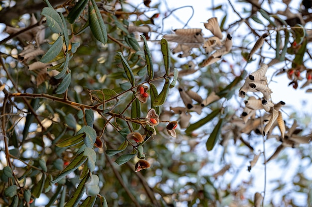 Ormosia tree with red seeds and selective focus