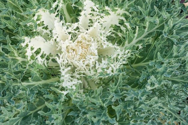 Ornamental cabbage closeup.