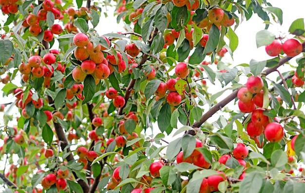생동감 있는 붉은 익은 과일이 가득한 장식용 게 사과 나무