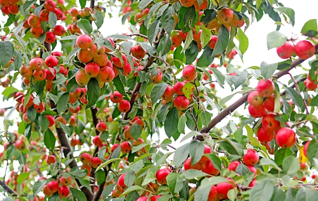 Ornamental crab apple tree full of vibrant red ripe fruits