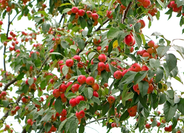 Ornamental crab apple tree with uncountable vibrant red color fruits