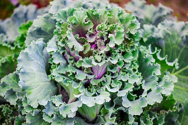 Декоративная декоративная капуста крупным планом в саду. естественный фон из капусты. ландшафтный дизайн.