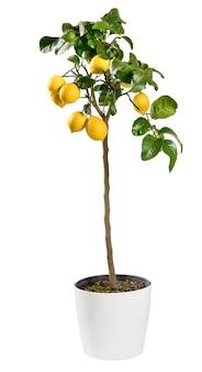 Декоративное плодоносящее лимонное дерево, изолированное на белом