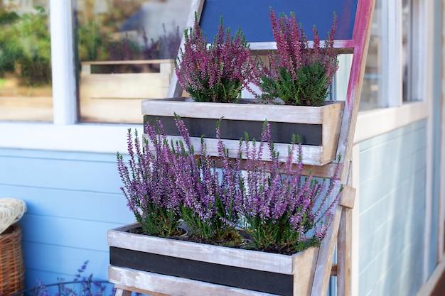 Ornamental garden plant blooming heather calluna vulgaris  in a pot in backyard of house decorating summer garden