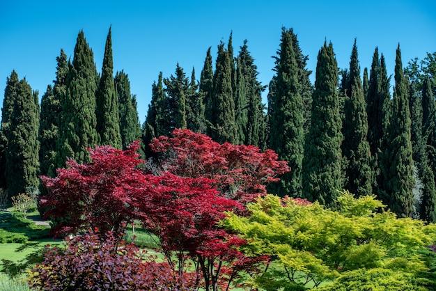 푸른 하늘을 배경으로 높은 녹색 지중해 사이프러스를 배경으로 하는 넓은 정원에 화려한 붉은 잎을 가진 장식용 일본 단풍나무