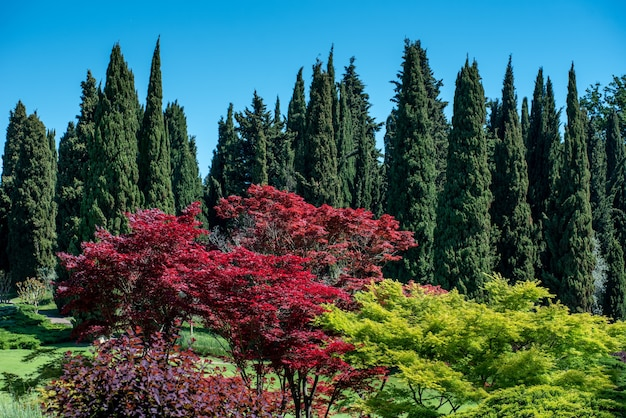 Ornamental japanese maple trees with their colorful red leaves in a large garden with backdrop of tall green mediterranean cypresses against a blue sky