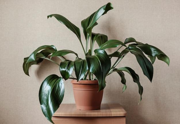 観賞用の緑豊かな緑のユーカリ植物