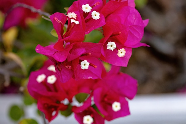 Bougainvillea glabra 종의 관상용 식물 꽃