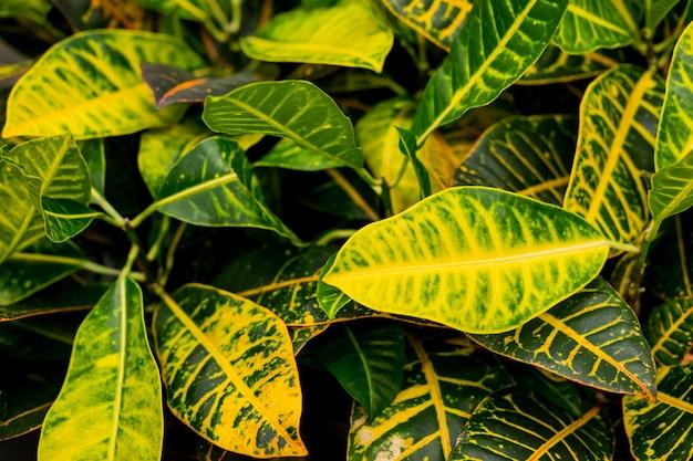Декоративные листья растений как естественный фон. красочные листья растений кротон. домашнее растение кротон в горшке. codiaeum variegatum. полосатые листья.