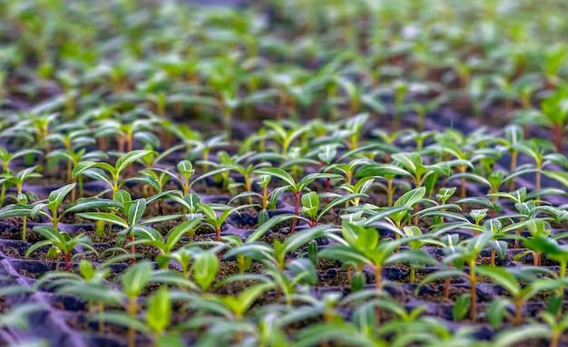 Ornamental plant seedlings, selected focus, in the nursery in sleman, yogyakarta, indonesia