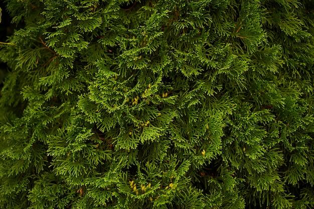 관 상용 관목 벽 관목 녹색 배경 부시 프리미엄 사진