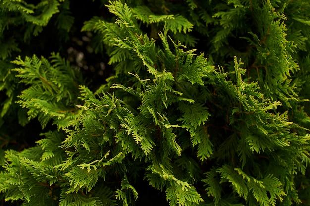 관 상용 관목 벽 관목 녹색 배경 부시