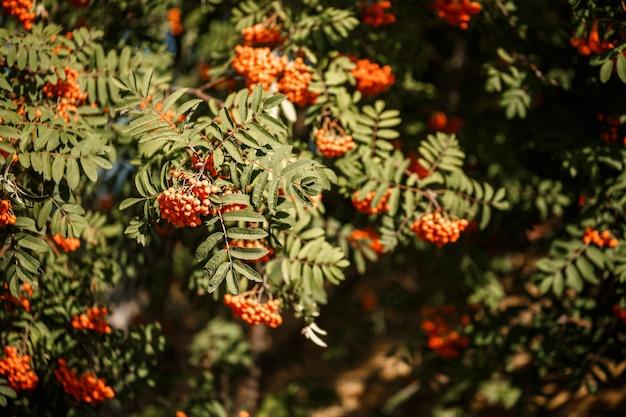Декоративное дерево с оранжевыми ягодами рябины в саду на солнце