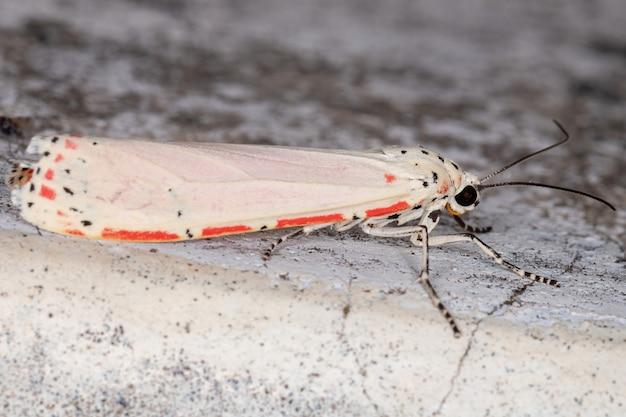 Ornate bella moth of the species utetheisa ornatrix