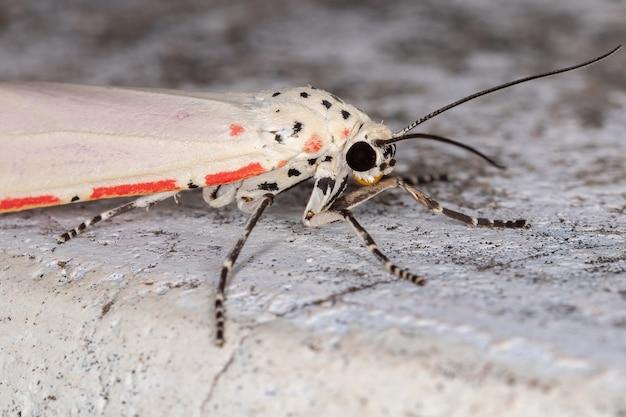 Ornate bella moth of the species utetheisa ornatrix Premium Photo