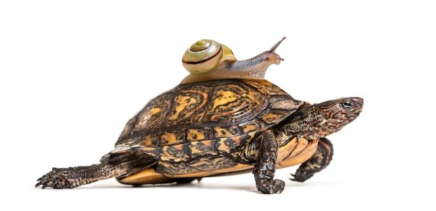 Декоративная или окрашенная деревянная черепаха, rhinoclemmys pulcherrima, с коричневогубой улиткой, cepaea nemoralis, на спине, перед белой поверхностью