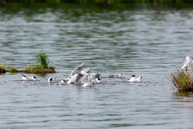Ornis of sea gulls row in the water