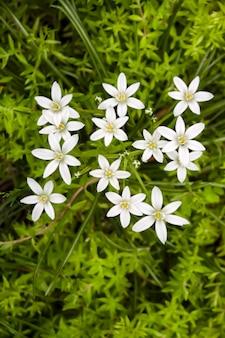 Ornithogalum 꽃 근접 촬영 (베들레헴의 별).