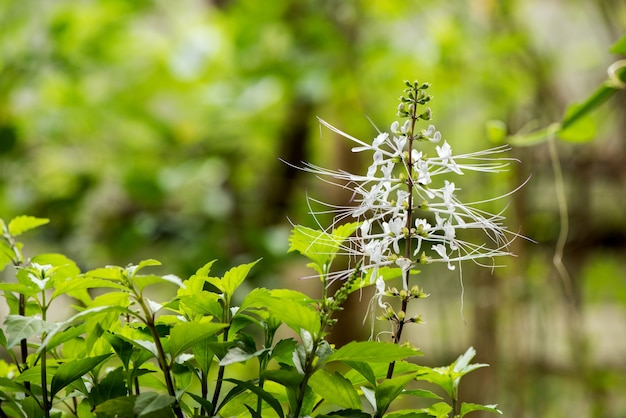 Orthosiphon aristatus flowers and green leaves on nature background.