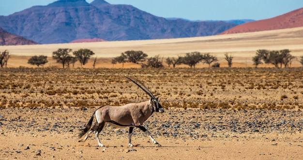 Антилопа орикс в пустыне соссусвлей