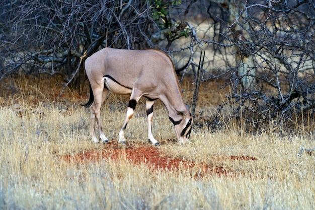 Орикс газелла африканский национальный парк самбуру. кения