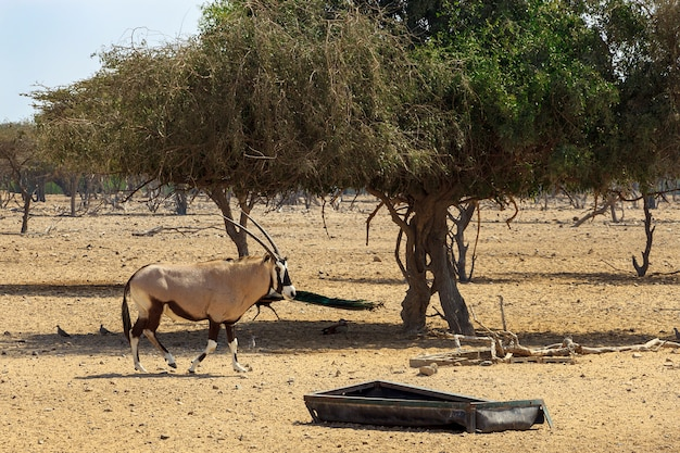 Арабский орикс или белый орикс (oryx leucoryx) в запасе