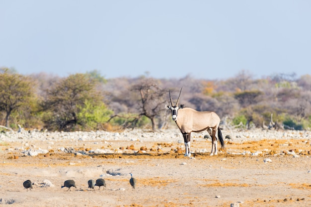 Oryx standing in the colorful landscape of the majestic etosha national park, best travel destination in namibia, africa.