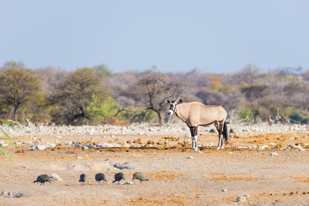 Oryx standing in the colorful landscape of the majestic etosha national park, namibia, africa.