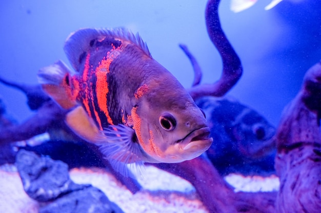 Oscar fish, astronotus ocellatus. tropical freshwater fish in aquarium. tiger oscar, velvet cichlid.fish from the cichlid family in tropical south america, most popular cichlids in the aquarium hobby.