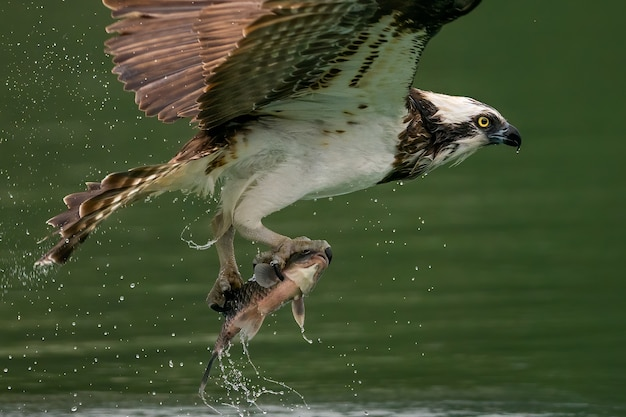 Osprey or sea hawk hunting a fish from the water