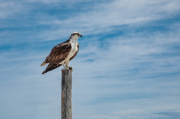 Osprey sitting on wooden pole against blue sky with clouds, mexico