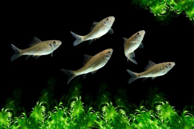 수생 식물이 있는 osteochilus vittatus 물고기