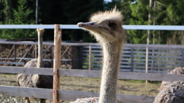 Голова и шея переднего портрета птицы страуса в парке. крупным планом милый страус на размытом фоне.