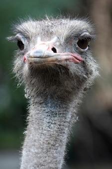 Голова и шея переднего портрета птицы страуса в парке крупным планом