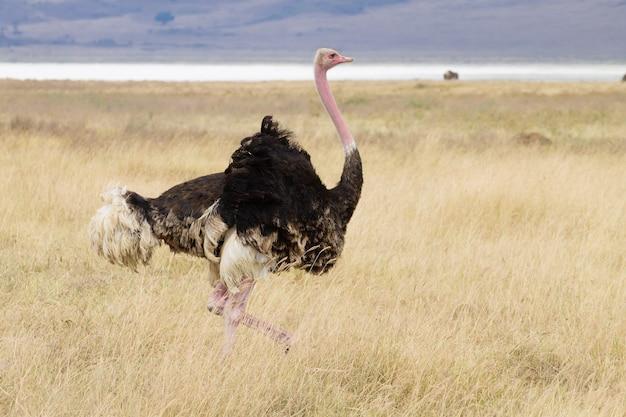Страусиная птица. кратер заповедника нгоронгоро, танзания. африканская дикая природа