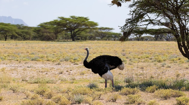 An ostrich bird with trees on a pasture