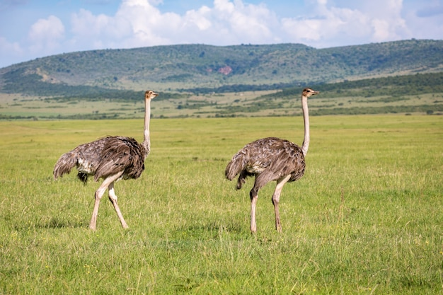 Ostrich birds are grazing on the meadow in the countryside of kenya