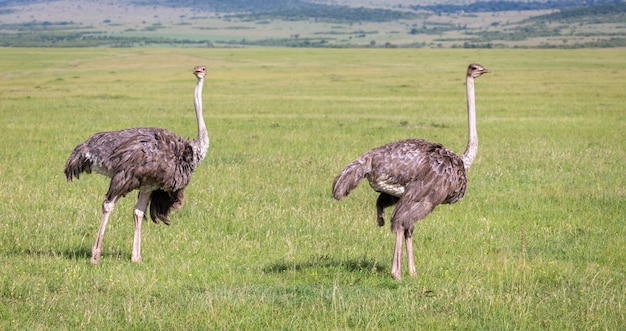 The ostrich birds are grazing on the meadow in the countryside