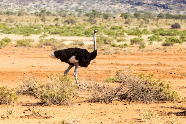 Ostrich family runs through the savanna of kenya