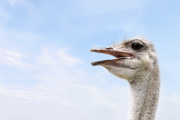 Ostrich head close-up against the blue sky.